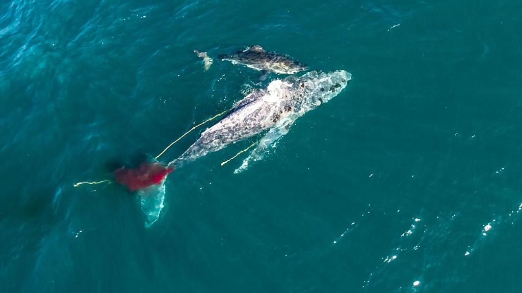 Cenas inéditas de um Tubarão Branco atacando uma Jubarte foram registradas na África do Sul