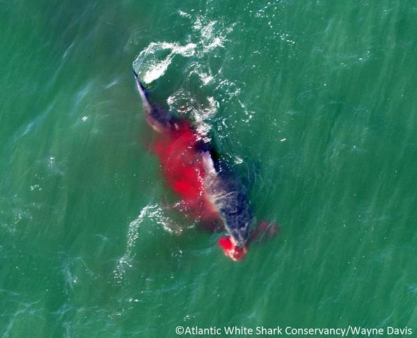 Grande Tubarão Branco é visto caçando na costa de Massachusetts
