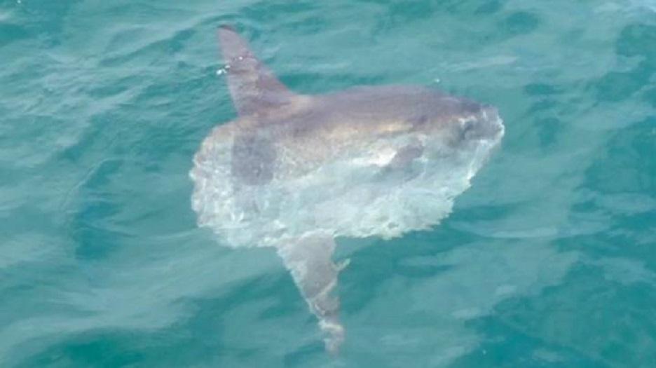 Os peixes-lua são cada vez mais vistos no litoral britânico