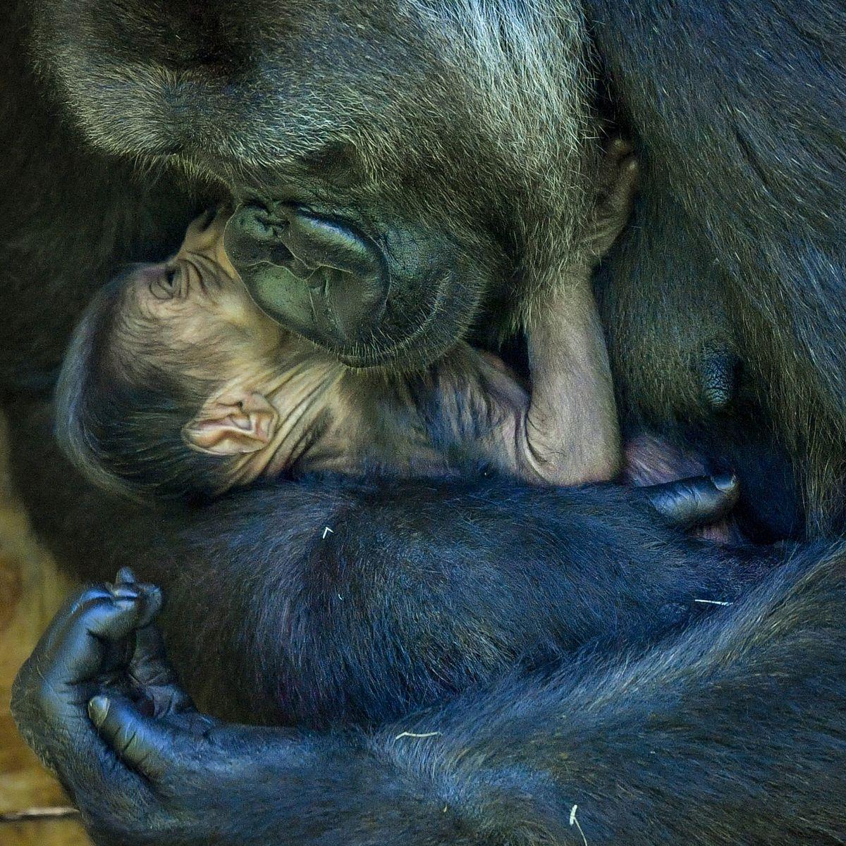 Gorila ameaçado de extinção dá à luz em zoológico de Bristol