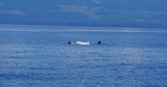 Baleia Orca albina extremamente rara é vista no Alasca