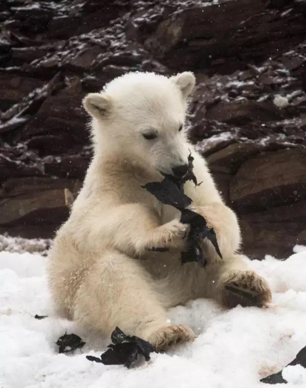 Ursos polares são vistos comendo plástico no Ártico