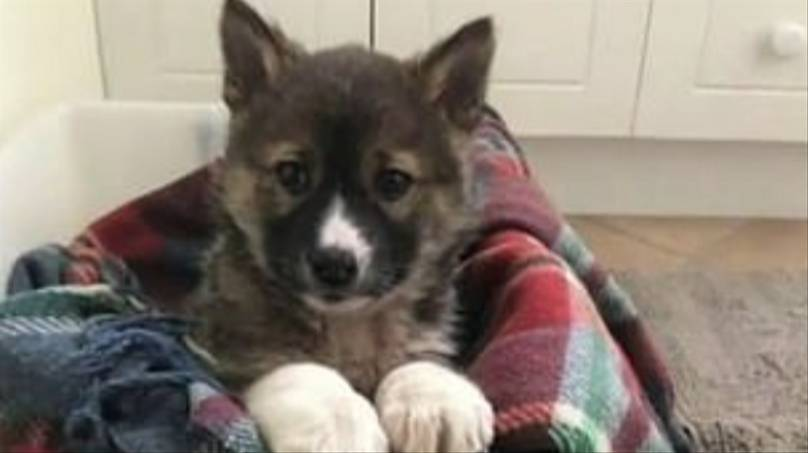 É descoberto na Austrália um raro filhote raça pura de Dingo