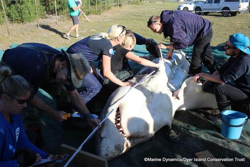 Orcas caçam e devoram seis grandes tubarões brancos