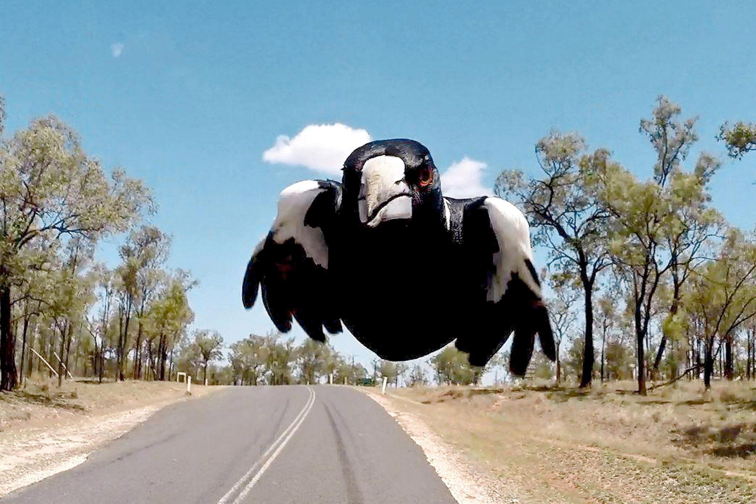 É chegada a temporada das gralhas na primavera australiana