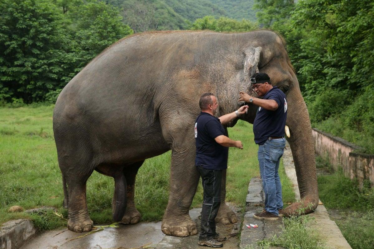 Elefante vítima de armadilha sobrevive graças a uma equipe de resgate