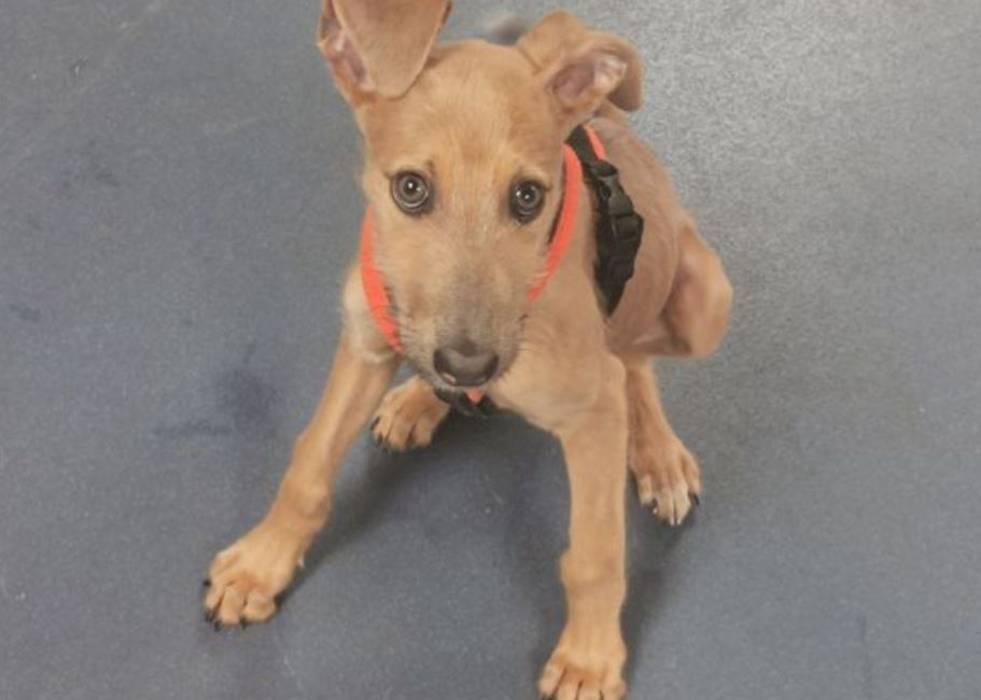 Especialistas em animais alertam sobre crise na adoção de cachorros